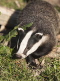 Badger, Uk Photographic Print by Ann & Steve Toon