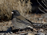 Oregon Junco (Junco Hyemalis Oreganus), Abiquiu Lake, New Mexico Reproduction photographique