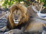 Lion Couple (Panthera Leo), Masai Mara National Reserve, Kenya, East Africa, Africa Photographic Print