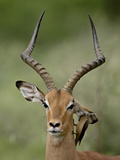 Male Impala (Aepyceros Melampus) With a Red-Billed Oxpecker, Kruger National Park, South Africa Photographic Print