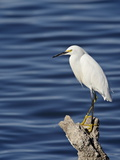 Snowy Egret (Egretta Thula), Sonny Bono Salton Sea National Wildlife Refuge, California, USA Photographic Print