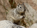 California Ground Squirrel (Citellus Beecheyi), Joshua Tree National Park, California, USA Photographie