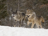 Two Captive Gray Wolves (Canis Lupus) Running in the Snow, Near Bozeman, Montana, USA Photographic Print