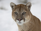 Mountain Lion (Cougar) (Felis Concolor) in Snow in Captivity, Near Bozeman, Montana Lámina fotográfica