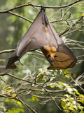 Fruit Bat (Flying Fox) (Chiroptera, Pteropodidae) Photographic Print by Rolf Richardson