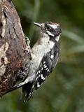 Downy Woodpecker (Picoides Pubescens), Wasilla, Alaska, United States of America, North America Photographic Print