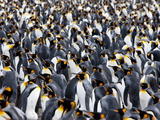 King Penguin Colony (Aptenodytes Patagonicus), Gold Harbour, South Georgia, Antarctic Photographic Print by Thorsten Milse