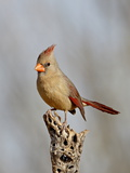 Female Northern Cardinal (Cardinalis Cardinalis), the Pond, Amado, Arizona, USA Photographic Print