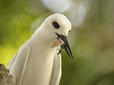 Adult White Tern (Gygis Alba) With Squid in Its Beak, Lord Howe Island, New South Wales, Australia Photographic Print