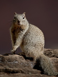 Rock Squirrel (Spermophilus Variegatus), Zion National Park, Utah, USA Photographic Print