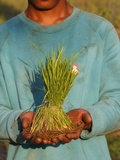 A Rice Field Worker Showing Rice Stalks, Siem Reap, Cambodia, Indochina, Southeast Asia, Asia Photographic Print