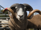 Blackface Rams in Sheep Pens at Upland Show, Falstone Border Shepherd Show, Northumberland, England Photographic Print