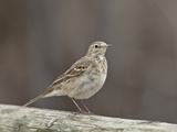 American Pipit (Anthus Rubescens Rubescens), San Jacinto Wildlife Area, California, USA Photographic Print