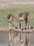 Cheetah (Aconinyx Jubatus), at Water, Kgalagadi Transfrontier Park, South Africa, Africa Photographic Print