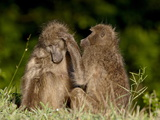 Two Chacma Baboons (Papio Ursinus) Grooming, Kruger National Park, South Africa, Africa Photographic Print
