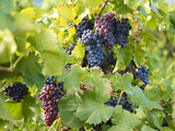 Grapes on Vines, Languedoc Roussillon, France, Europe Lmina fotogrfica