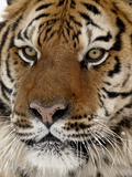 Close-Up of Captive Siberian Tiger (Panthera Tigris Altaica), Near Bozeman, Montana, USA Photographic Print