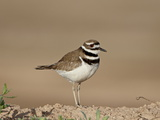 Killdeer (Charadrius Vociferus), Salton Sea, California, United States of America, North America Photographic Print