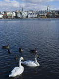 Swans and Geese in Tjornin (Pond), With City Behind, Reykjavik, Iceland, Polar Regions Photographic Print