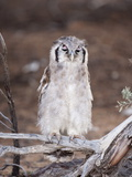 Verreaux's (Giant) Eagle Owl (Bubo Lacteus), Kgalagadi Transfrontier Park, South Africa, Africa Photographic Print by Ann & Steve Toon