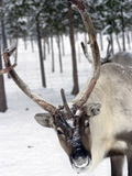 Reindeer Safari, Jukkasjarvi, Sweden, Scandinavia, Europe Photographic Print