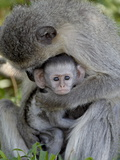 Infant Vervet Monkey (Chlorocebus Aethiops), Kruger National Park, South Africa, Africa Photographic Print