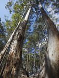 Karri Trees in Gloucester National Park, Pemberton, Western Australia, Australia, Pacific Photographic Print by Ian Trower