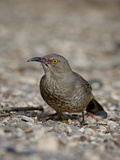 Curve-Billed Thrasher (Toxostoma Curvirostre), Caballo Lake State Park, New Mexico, USA Photographie