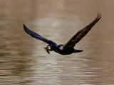 Double-Crested Cormorant in Flight With Nesting Material, Denver City Park, Colorado Photographic Print