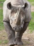 Black Rhino (Diceros Bicornis), Captive, Native to Africa Fotografisk tryk af Ann & Steve Toon