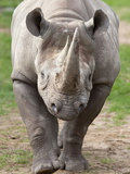 Black Rhino (Diceros Bicornis), Captive, Native to Africa Photographic Print by Ann & Steve Toon