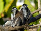 Ring-Tailed Lemur (Lemur Catta), Antanarivo, Madagascar, Africa Photographic Print