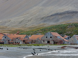Antarctic Fur Seals in Front of the Old Whaling Station, Husvik Island, Antarctic, Polar Regions Photographic Print by Thorsten Milse