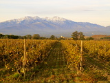 Vineyards and Canigou Mountain, Languedoc Roussillon, France, Europe Photographic Print