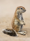Baby Ground Squirrel (Xerus Inauris), Kgalagadi Transfrontier Park, South Africa, Africa Photographic Print by Ann & Steve Toon