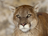 Mountain Lion (Cougar) (Felis Concolor) in Captivity, Near Bozeman, Montana, USA Photographic Print