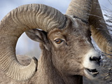 Bighorn Sheep (Ovis Canadensis) Ram Feeding, Yellowstone National Park, Wyoming Photographic Print