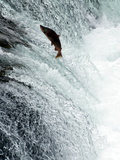 Sockeye Salmon Attempting to Jump the Falls, Brooks Camp, Katmai National Park, Alaska, USA Photographic Print