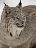 Canadian Lynx (Lynx Canadensis) in Snow in Captivity, Near Bozeman, Montana Lámina fotográfica