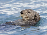 Sea Otter (Enhydra Lutris) on Its Back, Homer, Alaska, United States of America, North America Photographic Print