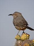 Curve-Billed Thrasher (Toxostoma Curvirostre), Rockhound State Park, New Mexico, USA Photographic Print