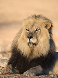 Blackmaned Lion (Panthera Leo), Kgalagadi Transfrontier Park, Northern Cape, South Africa, Africa Photographic Print by Ann & Steve Toon