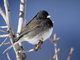 Oregon Junco, a Dark-Eyed Junco (Junco Hyemalis), Roxborough State Park, Colorado Photographic Print