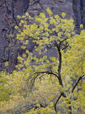 Yellow Cottonwood in the Fall, Zion National Park, Utah, USA Photographic Print by James Hager