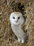 Barn Owl ( Tyto Alba), Captive, in Bales of Straw, Barn Owl Centre, Gloucestershire, England, Uk Photographic Print