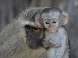 Vervet Monkey (Chlorocebus Aethiops) Infant and Mother, Kruger National Park, South Africa, Africa Photographic Print