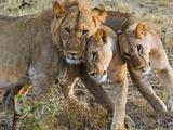 Young Lions (Panthera Leo), Masai Mara National Reserve, Kenya, East Africa, Africa Photographic Print