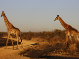 Giraffes, Madikwe Game Reserve, Madikwe, South Africa, Africa Photographic Print