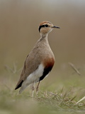 Temminck's Courser (Cursorius Temminckii), Mountain Zebra National Park, South Africa, Africa Photographic Print