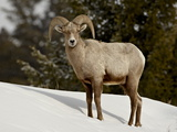 Bighorn Sheep (Ovis Canadensis) Ram in the Snow, Yellowstone National Park, Wyoming Lámina fotográfica